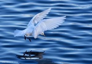 Ivory Gull Svartnes harbour Vardø march22nd 2015 in flight over water sign © Amundsen Biotope