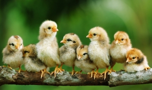 birds_chickens_chicks_chickens_baby_birds_1900x1133_wallpaper_Wallpaper_1900x1133_www.wallpaperswa.com