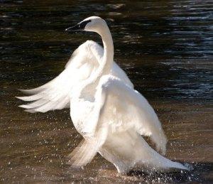rising swan