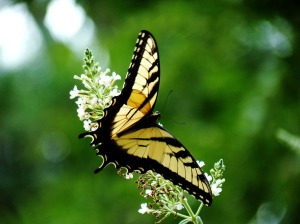Yellow_monarch_butterfly_Wallpaper_