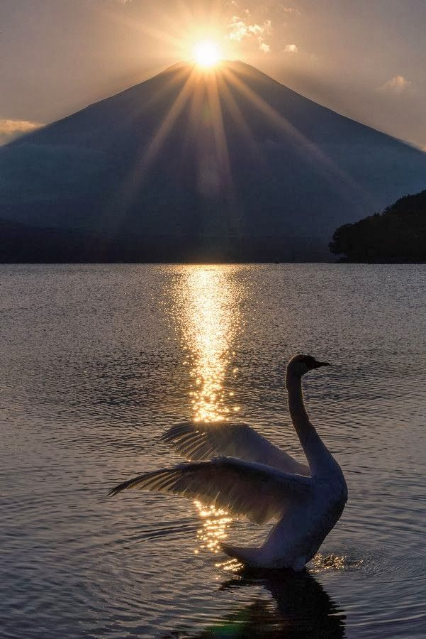 swan rise now