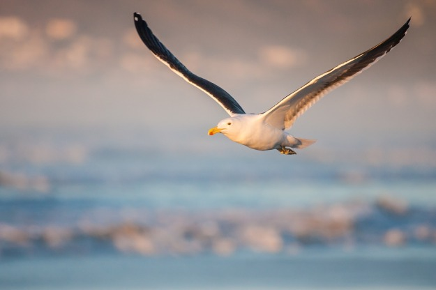 kelp-gull-in-flight-3105690_1280