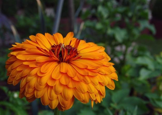 marigold-3560214_1280.jpg
